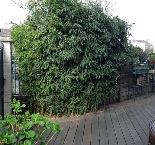 Photo avant : haie de bambous à tailler